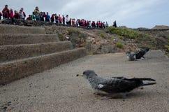 Laszowanie cory ` s shearwaters fotografia royalty free