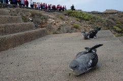 Laszowanie cory ` s shearwaters zdjęcia royalty free