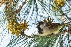 Lat воробья дома Domesticus проезжего сидя на ветви lat сосны Pinus Стоковые Фото