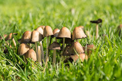 Lat жука серый или серый чернил гриба Atramentaria Coprinopsis в зеленой траве Стоковое фото RF