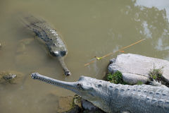 Lat крокодилов gavial Gangeticus Gavialis Стоковое Изображение