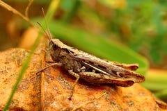 Lat кузнечика Tettigonioidea пряча в траве Маскировать - 100% Способный на формировать большие стада стоковая фотография rf