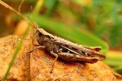 Lat кузнечика Tettigonioidea пряча в траве Маскировать - 100% Способный на формировать большие стада стоковая фотография