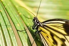 Lat рисовой бумаги ежедневной тропической идеи бабочки белый или деревянных нимфы Leuconoe идеи на лист ладони Стоковое Изображение RF