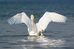 Lat adulte blanc de cygne muet L'olor de Cygnus sur l'eau bleu-foncé, a répandu vos ailes Photographie stock