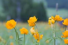 Lat anaranjado de la globo-flor Trollius foto de archivo libre de regalías