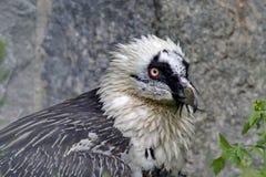 """Lat ястреба бородатый Barbatus Gypaetus птица от семьи ястребов """"Бородатый """"называет от пачки жестких пер стоковые изображения"""