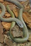 Lat сумматора крупного плана европейский Berus гадюки Ядовитая змейка на в болоте стоковое фото