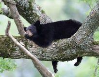 lat björn Arkivfoton