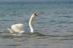 Lat blanco hermoso del cisne mudo El olor del Cygnus craned su cuello fotografía de archivo libre de regalías