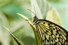 Lat blanco tropical agraciado del papel de arroz de la idea de la mariposa o madera de la ninfa Idea Leuconoe Imagen de archivo libre de regalías