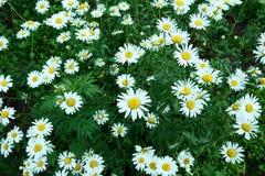 Lat chamomiles pole rumianku kwiat fotografia royalty free