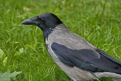Lat cinzento do corvo O cornix do Corvus é uma espécie de pássaros do gênero dos corvos Um corvo cinzento na grama imagem de stock royalty free