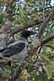 Lat cinzento do corvo O cornix do Corvus é uma espécie de pássaros do gênero dos corvos Um corvo cinzento na grama fotografia de stock
