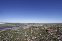 Lat colours w wysoki arktycznym z arktycznymi kwiatami na tundrze blisko Cambridge zatoki Nunavut Zdjęcia Stock