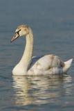 Lat développé de muet de cygne d'oisillon L'olor de Cygnus est un oiseau de la famille de canard sur l'eau Photographie stock