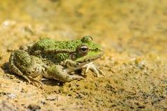Lat d'étang de grenouille verte Lessonae de Pelophylax sur le sable photographie stock