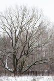 250 lat dębowy drzewo w miasto parku w zimie Obraz Stock