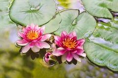 Lat da atração do lírio meio Nymphaea em uma lagoa Fotografia de Stock Royalty Free