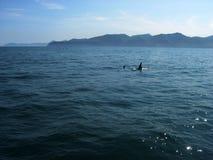 Lat da orca Orca do Orcinus A área da água perto da península de Kamchatka, Rússia verão Fotos de Stock