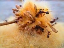 Lat das formigas Formicidae fotos de stock