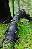 Lat de champignon de matière inflammable Champignon de matière inflammable, champignon de sabot, nez de matière inflammable ou fo Photo stock