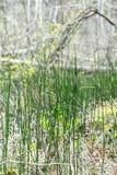 Lat de la invernada de la cola de caballo de la planta Hyemale del Equisetum Imagenes de archivo