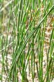 Lat de la invernada de la cola de caballo de la planta Hyemale del Equisetum Imagen de archivo