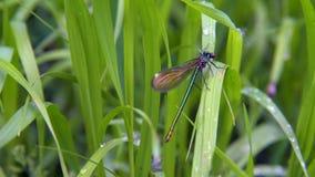 LAT de la libélula Dryas de Lestes, sentándose en la hierba verde, viento de ocsilación en un día de verano metrajes