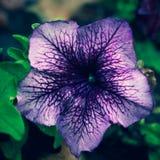 Lat de la petunia de la petunia La petunia es una planta floreciente perenne o anual, herbácea o semi-arbustiva que pertenece al  imagen de archivo