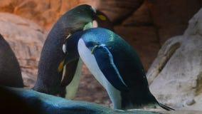 Lat de pingouins de Gentoo Pygoscelis Papouasie banque de vidéos
