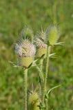 Lat de punta del vorovki de la inflorescencia Dipsacus en un fondo de la hierba Imagenes de archivo