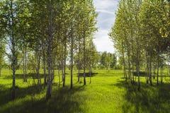 Lat del abedul del árbol de hoja caduca Betula Foto de archivo libre de regalías