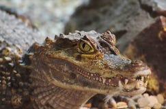 Lat del coccodrillo La crocodilia ? grandi rettili acquatici Denti del coccodrillo I coccodrilli vivono in tutto i tropici in Afr fotografie stock libere da diritti