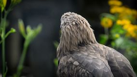 Lat del entierro de Eagle Heliaca de Aquila entre el verdor almacen de metraje de vídeo