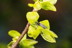 Lat del giardino di Bibione Hortulanus di Bibio nelle gocce di rugiada su un giovane ramo del lat del cachi Diospyros fotografia stock