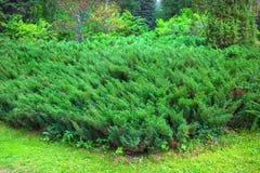 Lat del ginepro del cosacco Juniperus Sabina La Siberia, Russia Fotografia Stock Libera da Diritti
