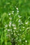 Lat del Gramineae di Stellaria Graminea L di Stellaria Piante selvatiche di Fotografia Stock
