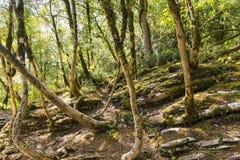 Lat del legno di bosso di Colchis del relitto Colchica del Buxus sulla roccia della montagna Immagine Stock Libera da Diritti