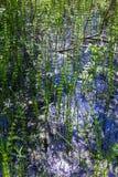 Lat del río de la cola de caballo Equisetum fluvial Imagen de archivo