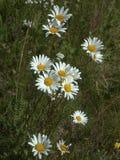 Lat del vulgare del Leucanthemum Vulgare del Leucanthemum Fotos de archivo libres de regalías