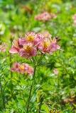 Lat dell'ibrido di Alstroemeria dei fiori Alstroemeria Immagini Stock Libere da Diritti