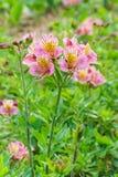 Lat dell'ibrido di Alstroemeria dei fiori Alstroemeria su un fondo verde Immagini Stock Libere da Diritti
