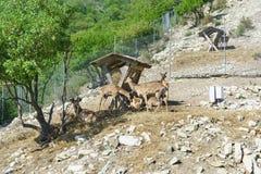 Lat della famiglia dei cervi Cervo sul pendio della catena montuosa di Markotkh in Safari Park Fotografia Stock