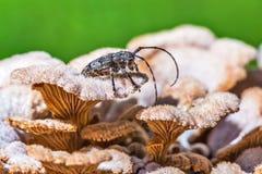 Lat dello scarabeo della mucca texana dello scarabeo di Deltapatents Myops di Mesosa sulla m. Immagine Stock