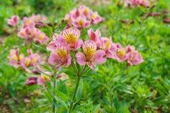 Lat di fioritura fertile dell'ibrido di Alstroemeria Alstroemeria Immagine Stock Libera da Diritti