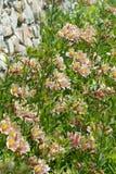 Lat di hybride di Alstroemeria Letto del bloem di Alstroemeria in furgone de muur di de buurt Fotografie Stock Libere da Diritti