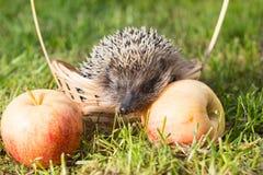 Lat do ouriço Europaeus do Erinaceus em uma cesta pequena com as maçãs na grama Foto de Stock