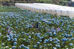 LAT du DA, VIETNAM, le 8 novembre 2018 : Le champ des fleurs d'hortensias, ces belles fleurs sont développés au Lat du DA de terr photographie stock libre de droits