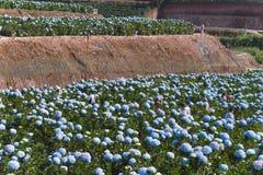LAT du DA, VIETNAM, le 8 novembre 2018 : Le champ des fleurs d'hortensias, ces belles fleurs sont développés au Lat du DA de terr images libres de droits